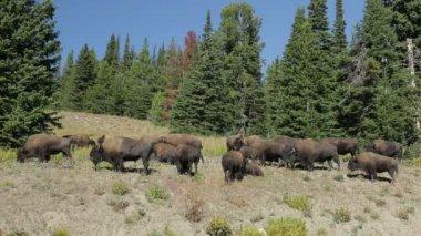 Herd of buffalo bison — Stock Video