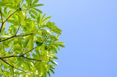 Green leaves and blue sky in noon. — Stock Photo