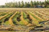 The harvested time on rice field. — Stock Photo