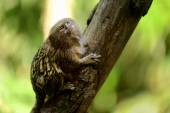 A cute pygmy marmoset — Stock Photo