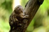 A cute pygmy marmoset — Stock Photo