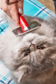 Grooming a Persian cat — Foto de Stock
