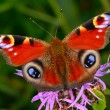 Red butterfly sits on a flower — Stock Photo #63115513