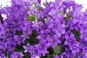 Purple vase with bluebells — Stock Photo