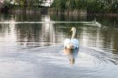 天鹅在池塘里 — 图库照片