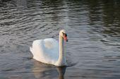 Labuť v rybníku — Stock fotografie