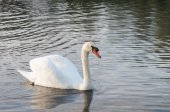 Swan in the pond — Stock Photo