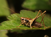 The Dark Bush Cricket, Pholidoptera griseoaptera — Stock Photo