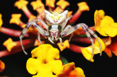 A crab spider, Thomisus onustus — Stock Photo