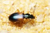 A ground beetle, Anchomenus dorsalis — Stockfoto