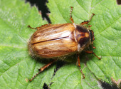 Summer Chafer, Amphimallon Solstitiale, Family Scarabaeidae, Fem — Stock Photo