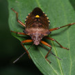 The Forest Bug, Pentatoma Rufipes — Stock Photo #54177317