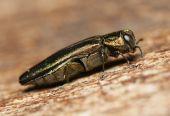 Escarabajo joya, agrilus angustulus, buprestidae — Foto de Stock