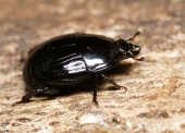 A carrion beetle, Margarinotus striola, Histeridae — Stock Photo