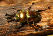 A tropical stag beetle, Rainbow Stag Beetle,  Phalacrognathus Mu — Fotografia Stock