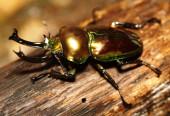 A tropical stag beetle, Rainbow Stag Beetle,  Phalacrognathus Mu — Stock Photo