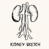 Human kidney sketch — Stock Vector