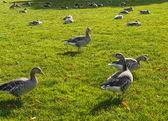 Geese in the grass in Hyde Park — Zdjęcie stockowe