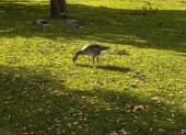 Geese in the grass — Foto Stock