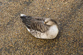 Goose sleeping in Hyde Park — Foto Stock