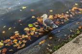 Gull in the water with autumn leaves — Stock fotografie