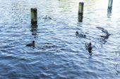 Gulls and ducks swimming and flying — ストック写真
