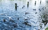 Gulls and ducks swimming — Stock Photo