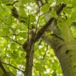 Squirrel on a tree branch looking — Stock Photo #55841145