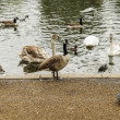Swans, ducks and geese in Hyde Park — Stock Photo #55841297