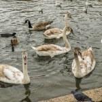 Swans, gulls and ducks swimming — Stock Photo #55841363