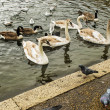 Swans, gulls and ducks swimming in Hyde Park — Stock Photo #55841393