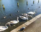 Swans swimming in Hyde Park — Foto Stock