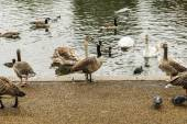 Swans, ducks and geese in Hyde Park — Zdjęcie stockowe