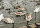 Swans, gulls and ducks swimming — Stock Photo