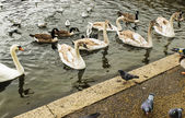 Swans, gulls and ducks swimming in Hyde Park — Stock Photo