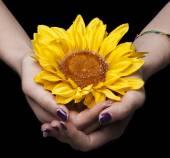 Female hands holding sunflower closeup — Stock Photo