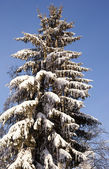 Spruce in the snow — Stock Photo
