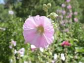 Hollyhocks blooming in Perennial garden — Stock Photo