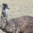 An Emu, Australia's largest bird, in a rural setting — Stock Photo #64351465