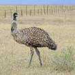 An Emu, Australia's largest bird, in a rural setting — Stock Photo #64351489