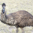 An Emu, Australia's largest bird, in a rural setting — Stock Photo #64351495