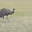 An Emu, Australia's largest bird, in a rural setting — Stock Photo #64351513