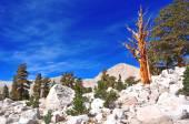 Ancient Bristlecone Pines in mountain setting, California — Stock Photo