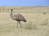 An Emu, Australia's largest bird, in a rural setting — Stock Photo