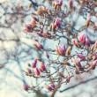 Blossoming of magnolia flowers in spring time, retro vintage image — Stock Photo #65530707
