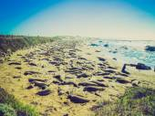 Retro look Elephant seals colony — Stock Photo