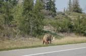 Canadian Deer — Stock fotografie