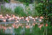 Flamingo birds in a pond — Foto de Stock
