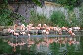 Flamingo bird in a pond — Photo