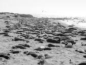 Elephant seals colony — Stock Photo